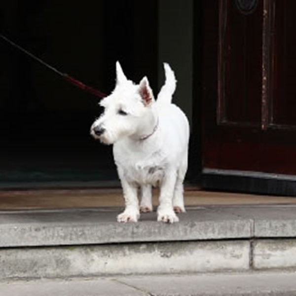 Bridge of Orchy Image of White Scottish Terrier at Hotel Door
